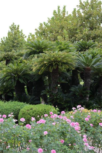 鶴舞公園、ソテツとバラ
