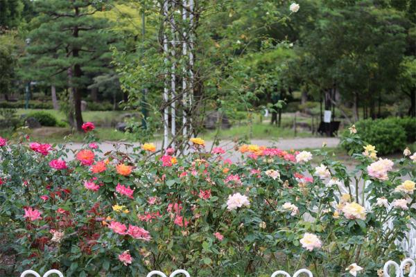 鶴舞公園、バラ園